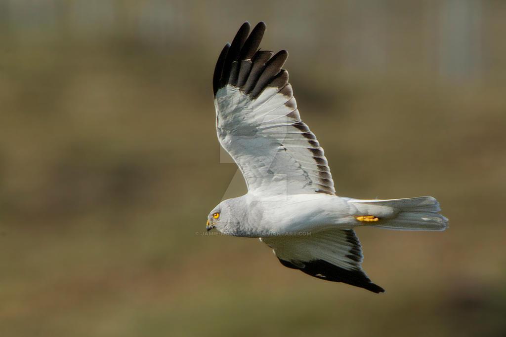 zoom - Hen Harrier by Jamie-MacArthur