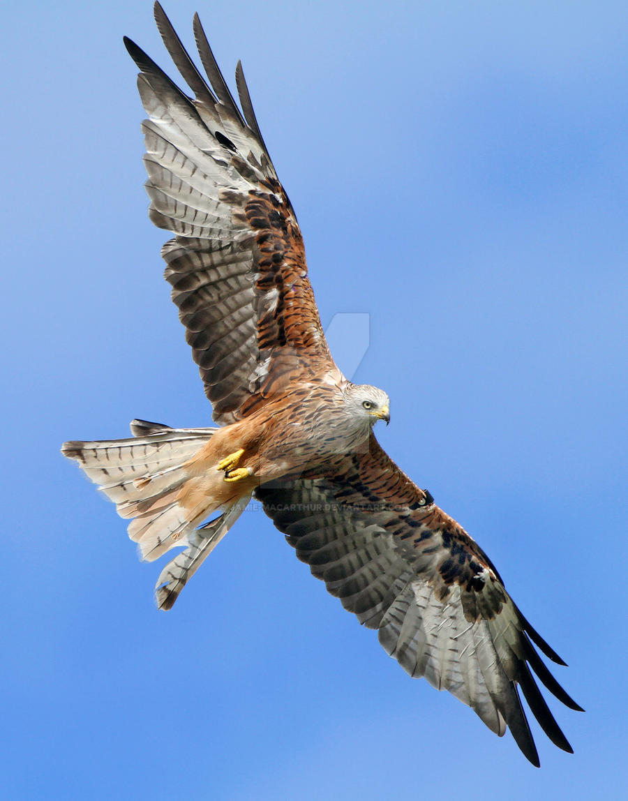 The evil eye - Red kite by Jamie-MacArthur