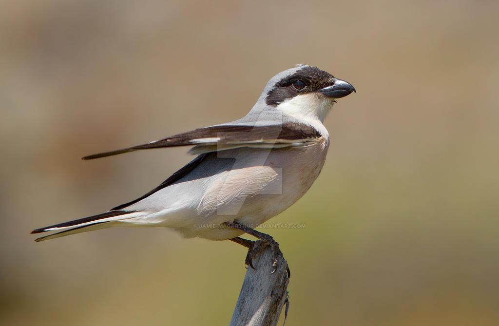 Jumpy - Lesser Grey shrike by Jamie-MacArthur