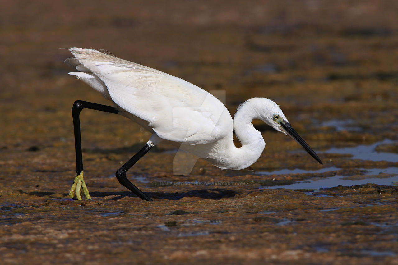 Spear fishing - Little Egret by Jamie-MacArthur