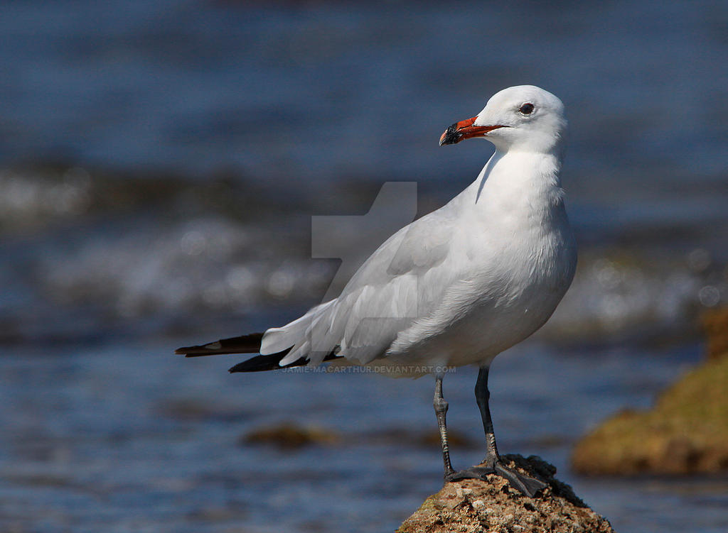Back from the brink of extinction- Audouin's Gull by Jamie-MacArthur