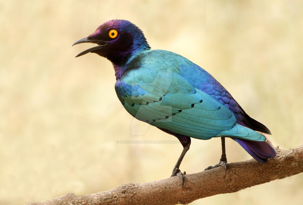 Bright-eye - Purple glossy starling by Jamie-MacArthur