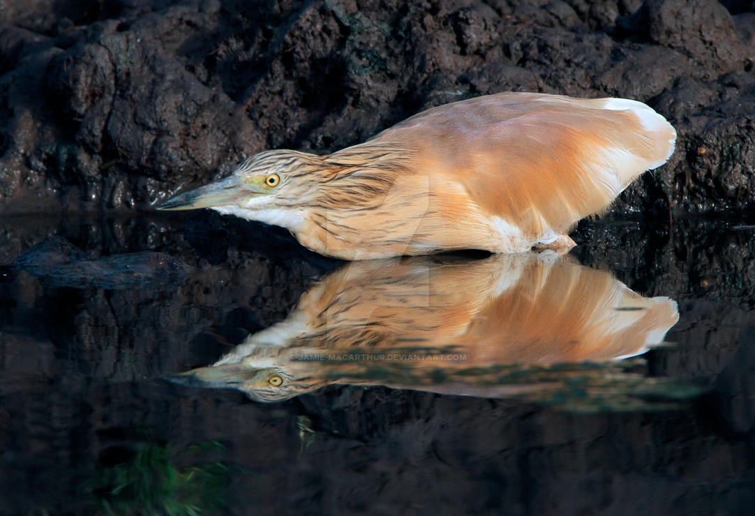 The opportunist- Squacco Heron by Jamie-MacArthur