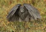 Day time Night time - Black Heron