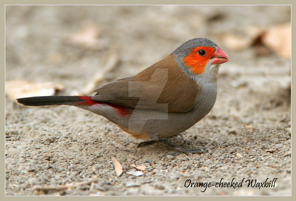 I'm som dam cute - Orange-cheeked Waxbill by Jamie-MacArthur