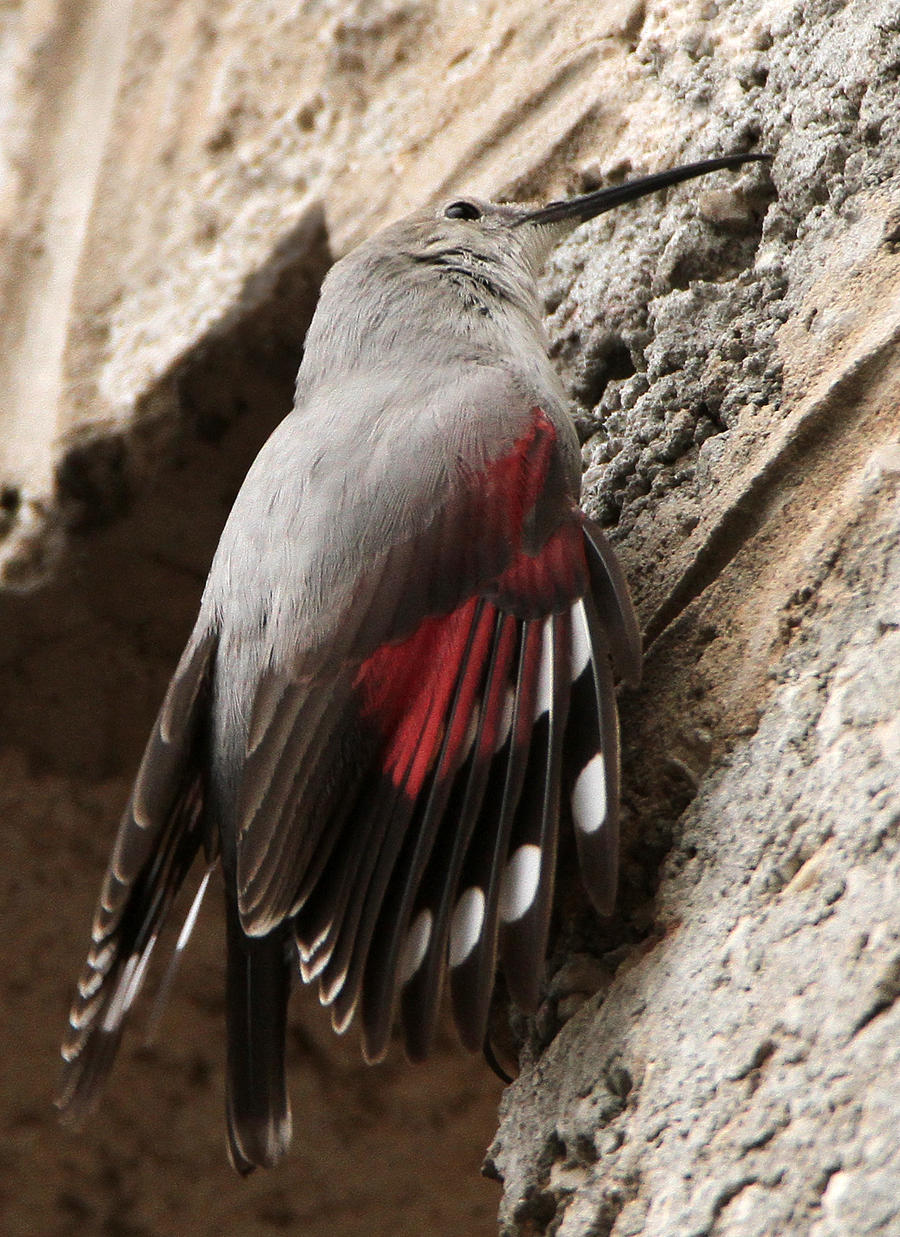 A Flash of Red - Wallcreeper by Jamie-MacArthur