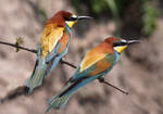 Two of a kind - European Bee-eater