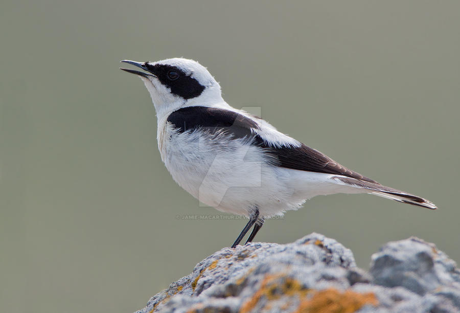 simply black and white  - Black-eared Wheatear by Jamie-MacArthur