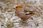 Wet feet - Hawfinch