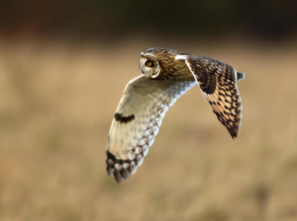 A soft as a breeze- Short eared owl by Jamie-MacArthur