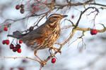 Gathering winter fuel - Redwing