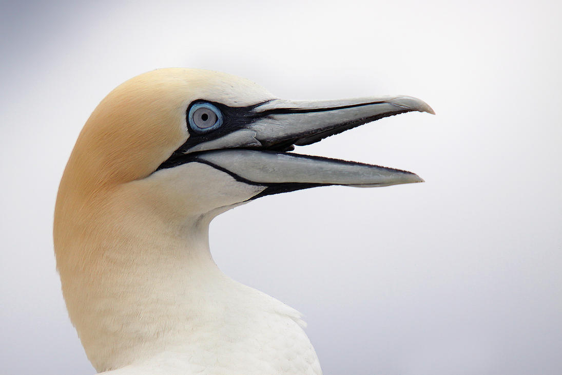 Keep Smiling - Northern Gannet by Jamie-MacArthur