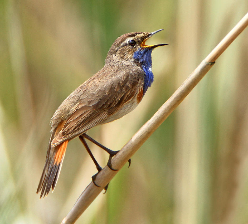 Singing the blues - Common Bluethroat by Jamie-MacArthur