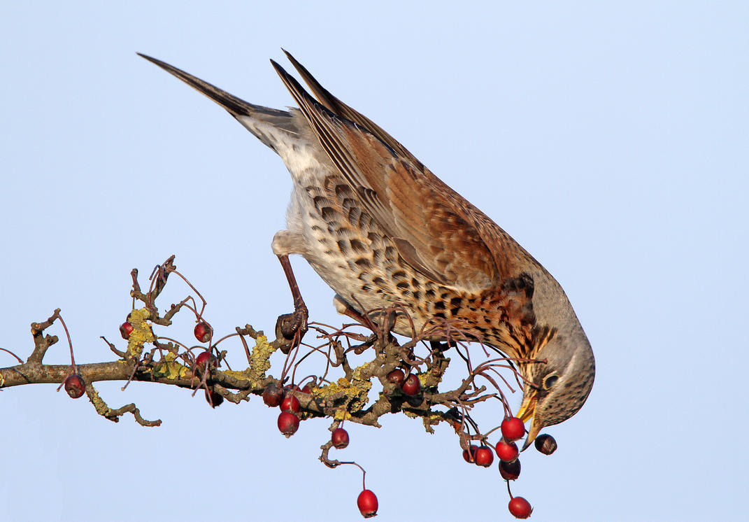 Berry picking- Fieldfare by Jamie-MacArthur