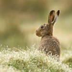 Hare raising - Hare by Jamie-MacArthur