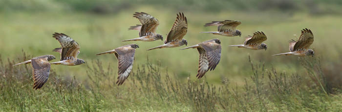Stitching them together - Montagu's Harrier