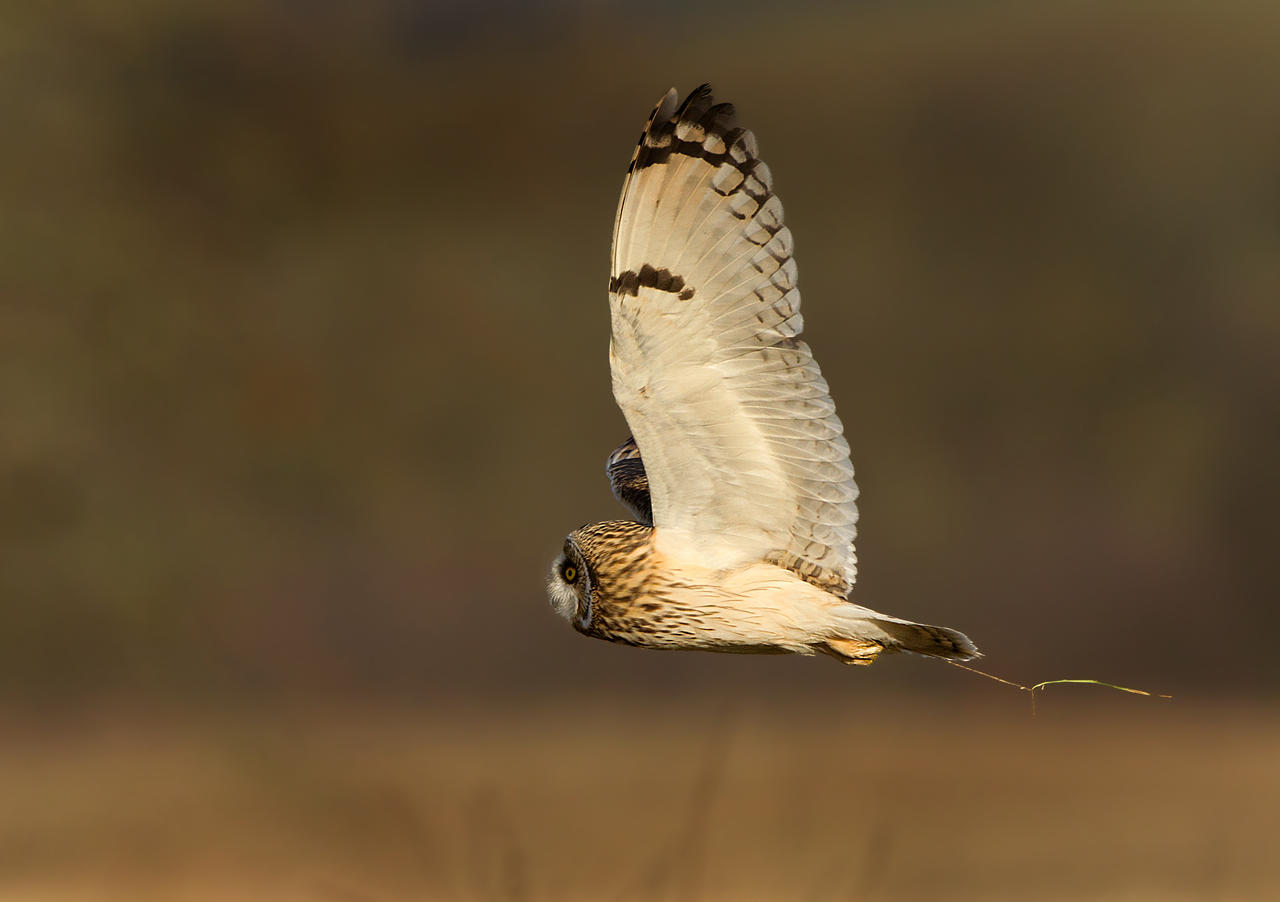 Still Trying - Short-eared Owl by Jamie-MacArthur