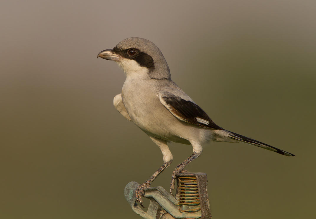 Poised -Southern Grey Shrike by Jamie-MacArthur
