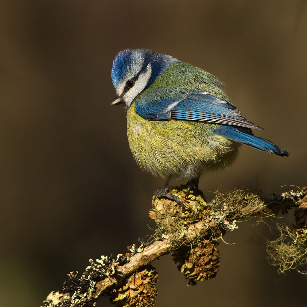 All things bright and beautiful -Blue tit by Jamie-MacArthur