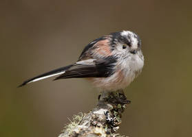 Hello there - Long-tailed Tit by Jamie-MacArthur