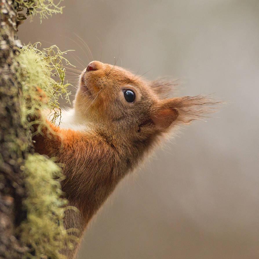 hide and seek - Red Squirrel by Jamie-MacArthur