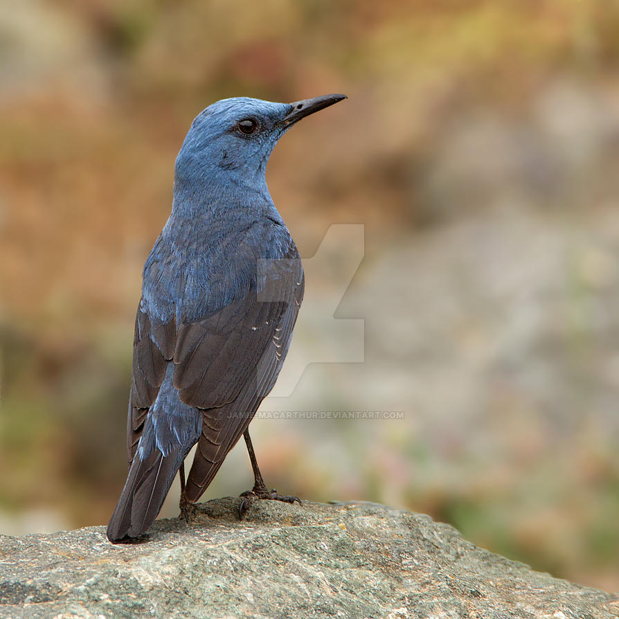 Handsome dude   -  Blue Rock Thrush by Jamie-MacArthur
