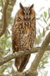 Watchful eyes - long eared owl