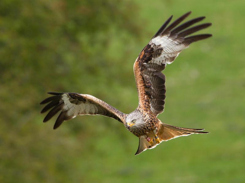 Focussed - Red Kite by Jamie-MacArthur