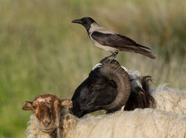 Feeling Sheepish - Hooded ~Crow by Jamie-MacArthur