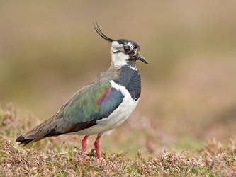 Lapwing AKA Green plover and Peewit by Jamie-MacArthur