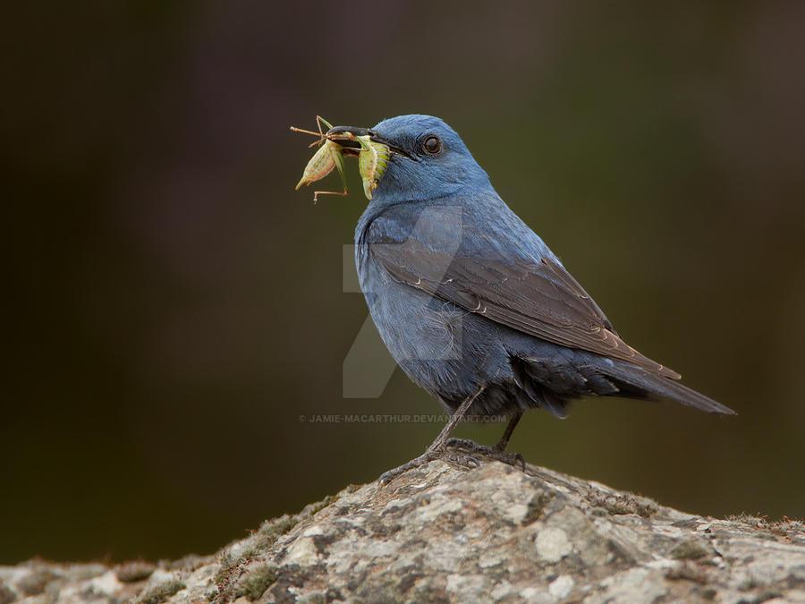 A blue day -  Blue Rock Thrush by Jamie-MacArthur
