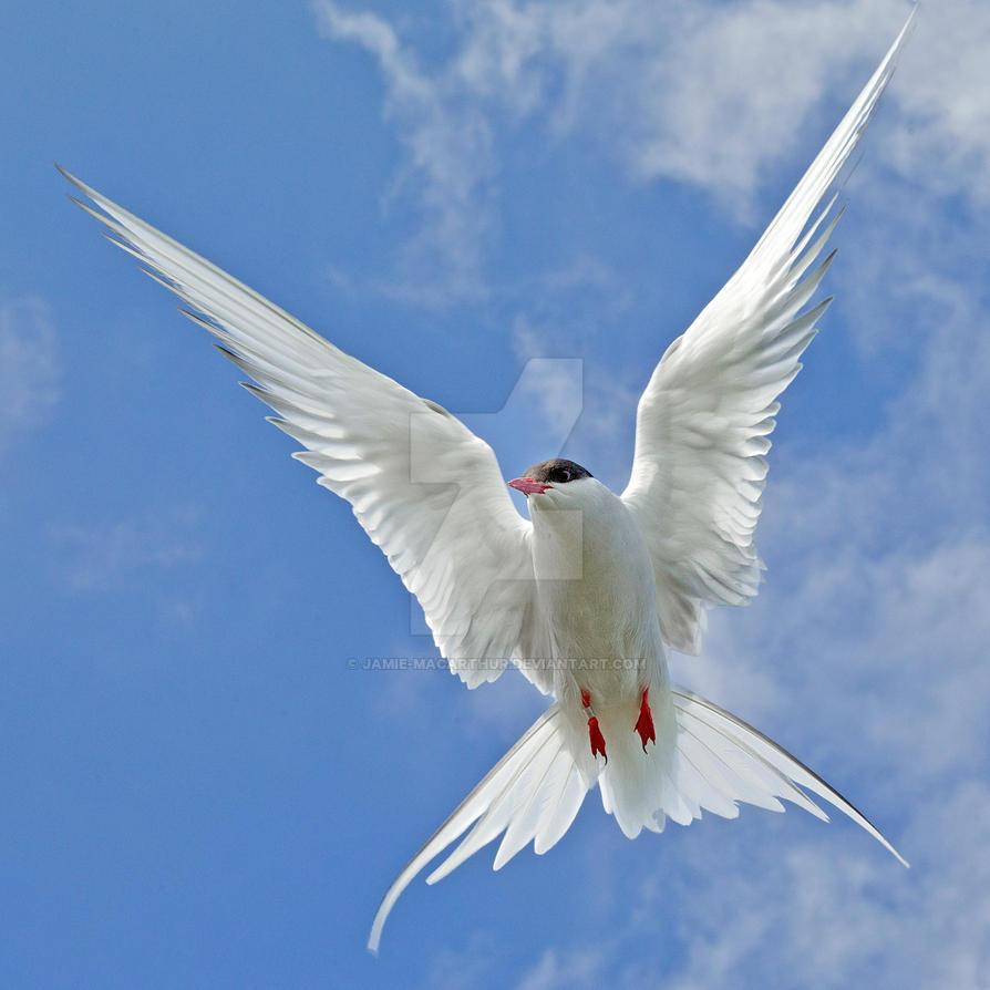 Starburst - Arctic Tern by Jamie-MacArthur