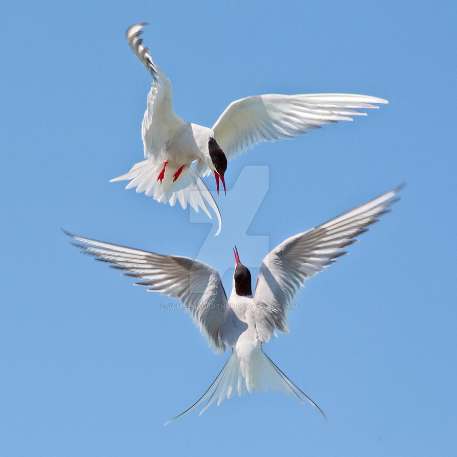 A tern for the worste - Arctic terns by Jamie-MacArthur