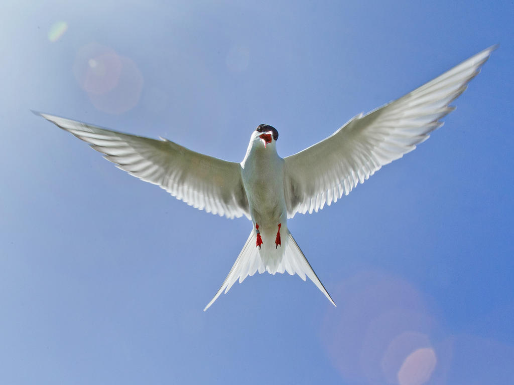 I aint no angel !! - Arctic Tern by Jamie-MacArthur