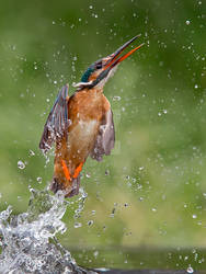 Lift off- Common Kingfisher