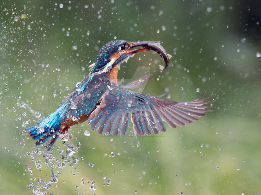 Breakfast sorted - Common Kingfisher by Jamie-MacArthur