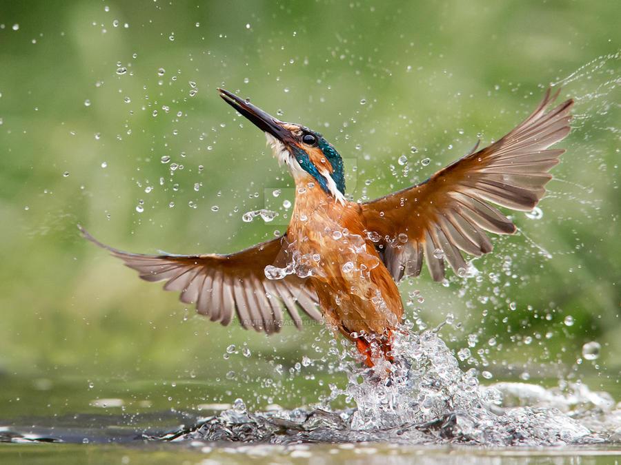 Rising damp - common kingfisher by Jamie-MacArthur