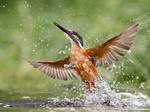 Rising damp - common kingfisher