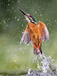 Water jet - Common kingfisher