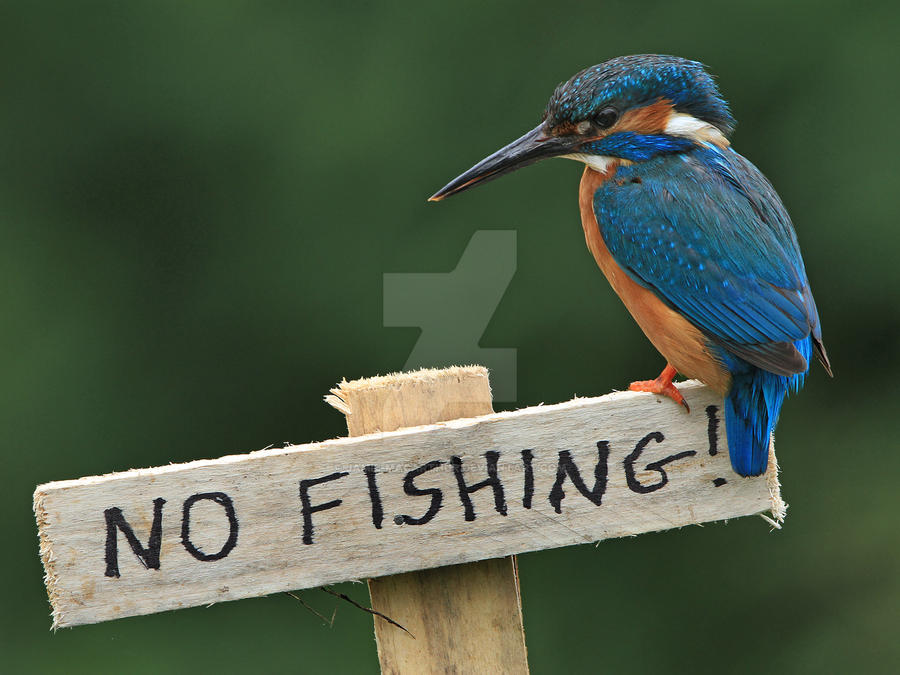 Bummer!   - common kingfisher by Jamie-MacArthur