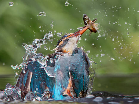 Emeregence - common kingfisher