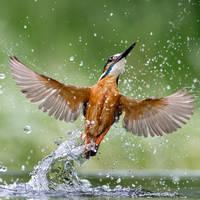 Full wing spread