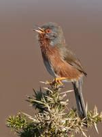 Singing Dartford Warbler by Jamie-MacArthur