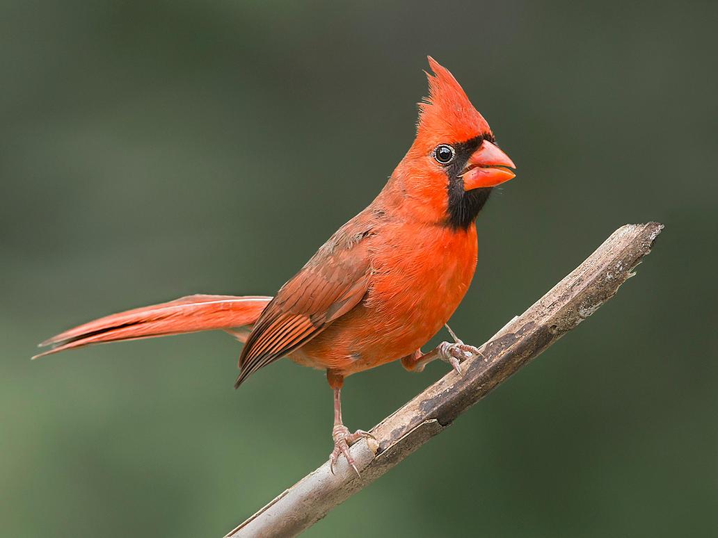 Nothern Cardinal by Jamie-MacArthur