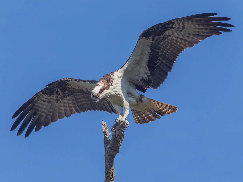 Osprey landing by Jamie-MacArthur