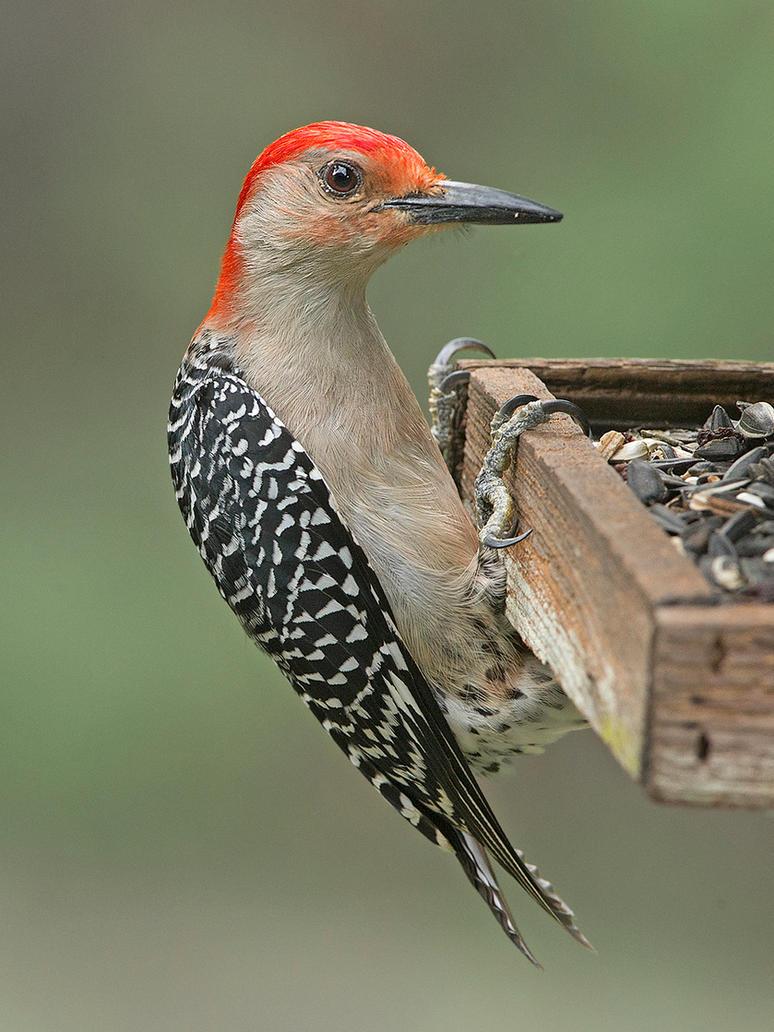 Red-Bellied Woodpecker by Jamie-MacArthur