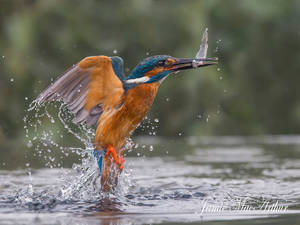 Grabbing a bite to eat - Common Kingfisher