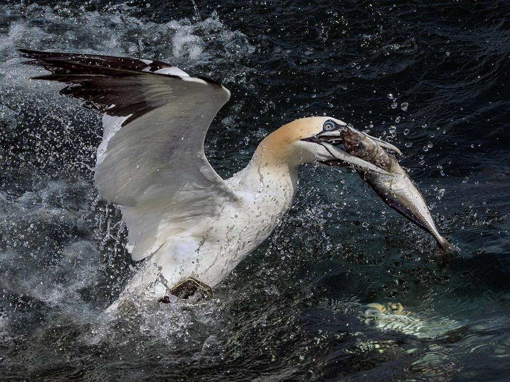 Northern Gannet by Jamie-MacArthur