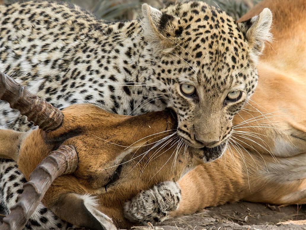 Leopard Kill by Jamie-MacArthur