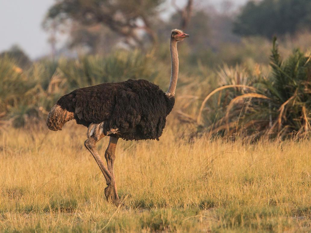 Ostrich by Jamie-MacArthur